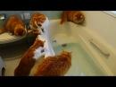 【マンチカンズ】猫が魚を追ってドボン ~ A cat fell into the bath-tub ~