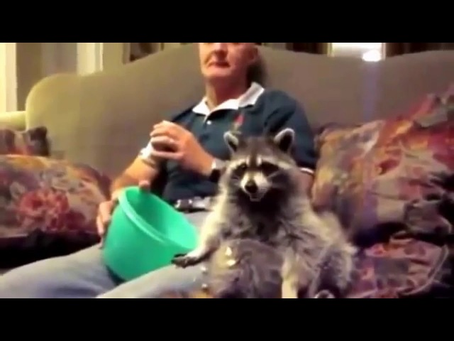Енот моет окно ! Raccoon washes a window ! Funny raccoon ! A cool videos about raccoons 1