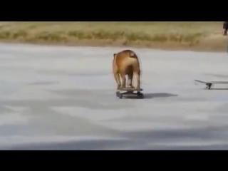 Собака катается на скейтборде.