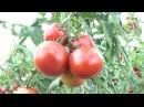 Семена Гавриш Томаты