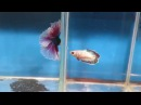 Fishchick Auctions Jacob's Ladder Lavender Butterfly Doubletail Halfmoon Betta Pair newlisting