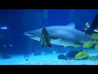 Кормление акул, пираний и арапайм (видеосет)