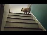 Мопс поднимается по лестнице! Можно смотреть бесконечно! Очень смешно