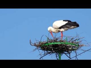 Белый аист строит гнездо