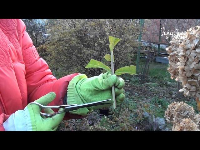 Размножение гортензии черенками. Сайт Садовый мир