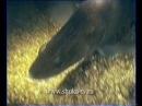 Фильм Судаки из цикла Мир подводной охоты Часть 2