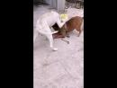 Молодой булли кутта  VS толстый питбуль (собачьи бои)