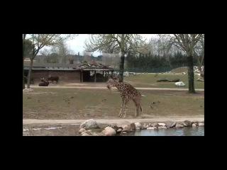 Италия. Парк-сафари. Любовный танец. Жирафы. История любви.