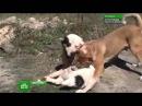 Первый адекватный репортаж о собачьих боях без витарасов