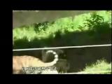 Turkish Dog Kangal Attacking Lion   Tiger !!! - YouTube_0_1431684687666
