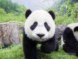 Распорядок дня панды.