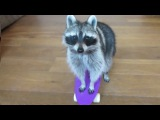 TOP 5  Best video. Funny raccoon. ТОП 5 Лучшие видео с енотами. Смешной енот!