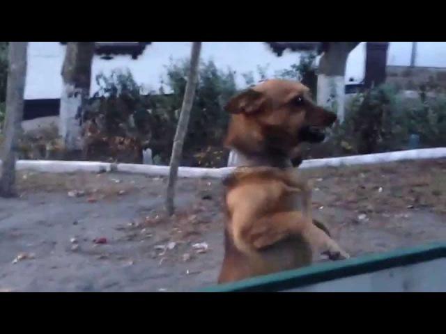 Собака наблюдака Боба