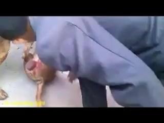 собачьи бои. немецкая овчарка разбила пит буля