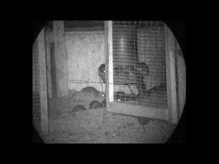 Pest Control with Air Rifles - Rat Shooting - Rattastic!