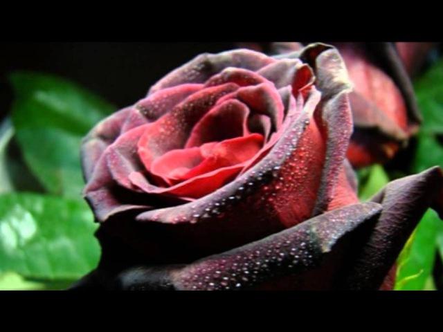 Роза Әлқожа - Асыл жарым
