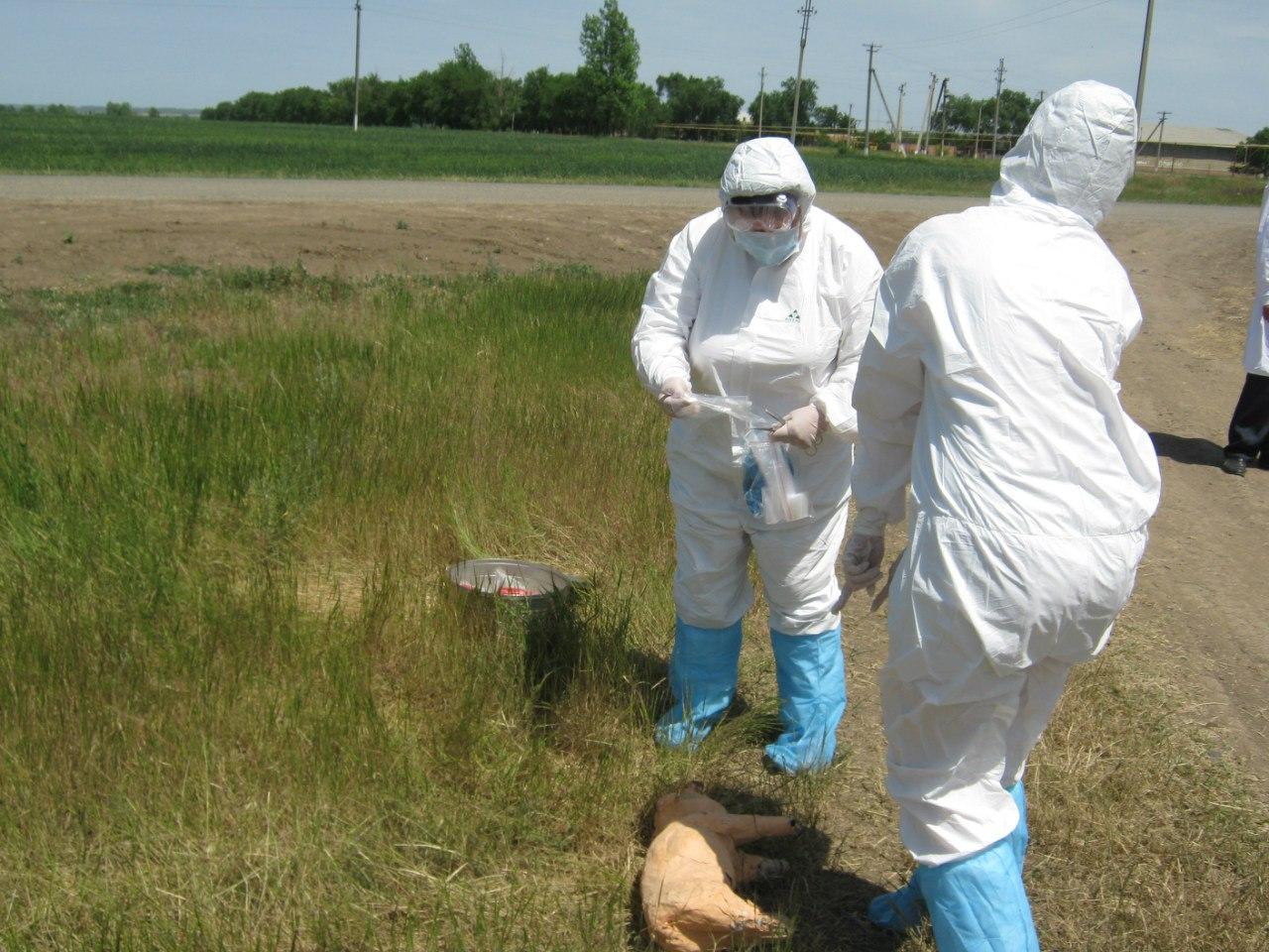 В одном из районов Ростовской области ветеринарные врачи провели учения по ликвидации АЧС
