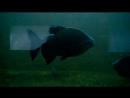 Пираньи Черного моря