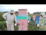 Пчеловодство. Сергей Толстов советы для начинающих пчеловодов. Способ применения матки помощницы.