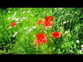 Полевые Цветы Маки Васильки Ромашки (Flowers. Daisies. Poppies)