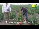 Томат Керо F1 опыт выращивания