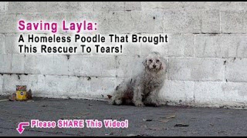 This Rescuer Was Brought To Tears When A Homeless Poodle Did The Sweetest Thing Please Share