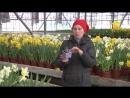 Луковичные цветы. Выгонка, передержка, посадка (ForumHouseTV)