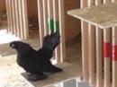 Статные голуби в Новосибирске