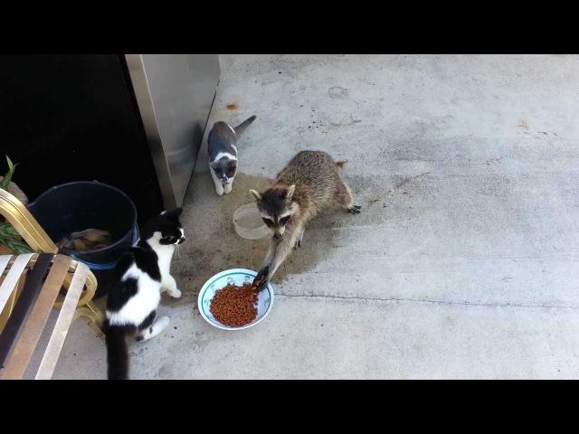 Енот крадет у кошек еду