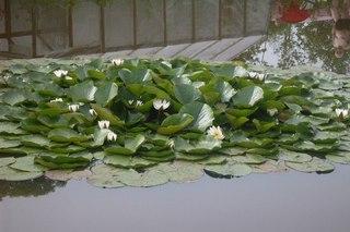 клубника ремонтантная выращивание в домашних условиях
