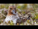Spoon-billed Sandpiper Hatch