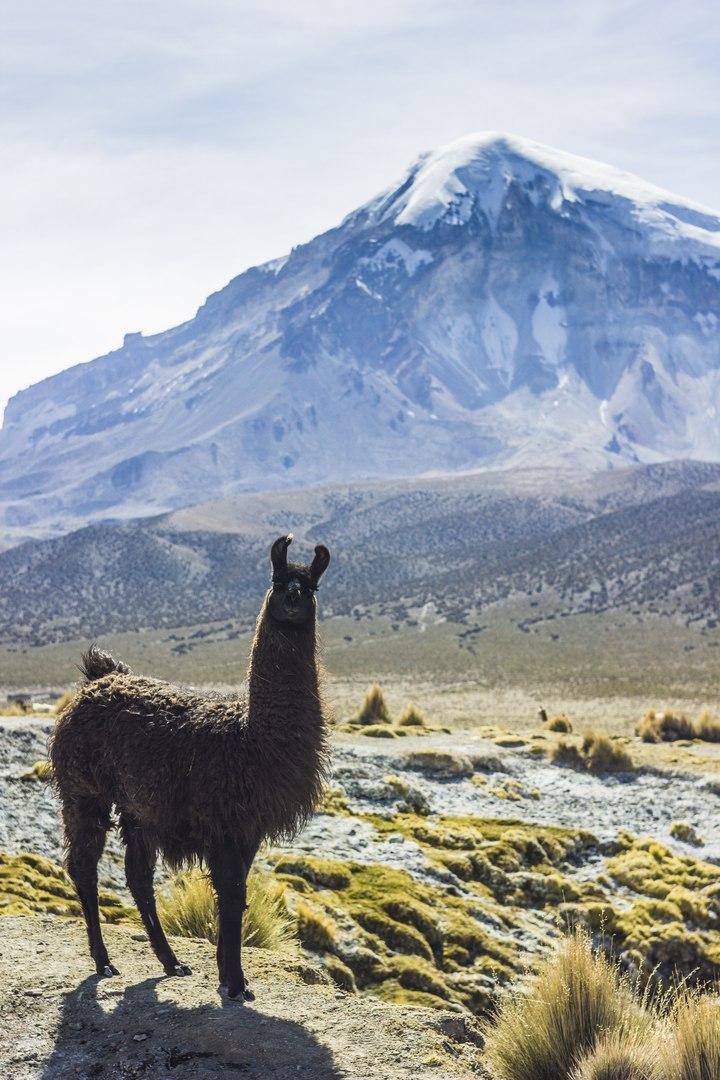 Ламы на фоне вулкана Сахама в Боливии