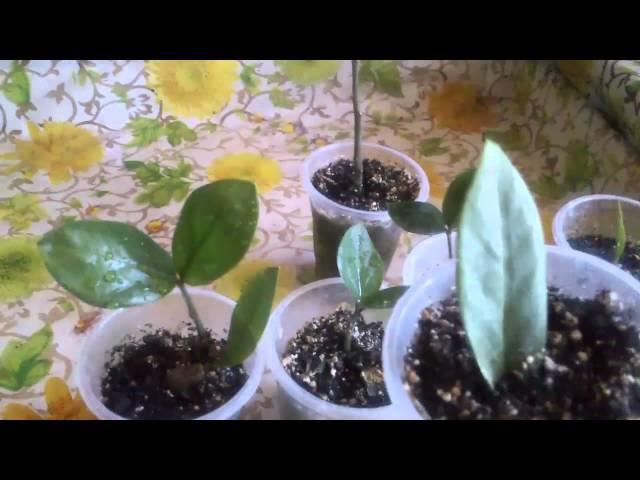 Замиокулькас из листовой пластинки.Часть 2-я