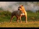 Собачьи БОИ Стаффорд vs Алабай/Dogfights Staffordshire Terrier vs Asian Shepherd Dog