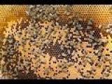 Пчеловодство для начинающих.Пасека. Два в одном стояке.Выживание слабых семей.