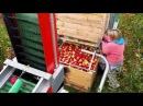Zbiór jabłek kombajnem