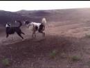 Собачьи бои казахский тазы vs САО алабай