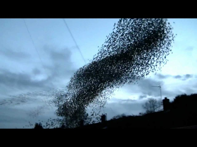 Unbelievable Starlings