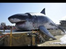 Real Megalodon Found - Worlds Biggest Shark Ever Found