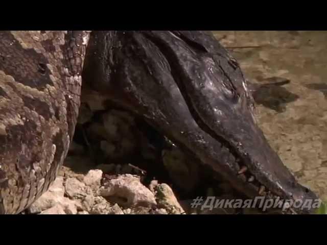 ЖЕСТЬ КОШМАР Крокодил убил удава, который его сожрал. [Дикая природа 2015]