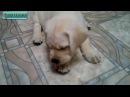 ТОП смешных видео Лабрадор Ретривер