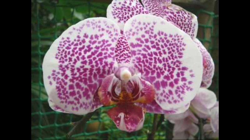 Ernesto Cortazar - Orchidea