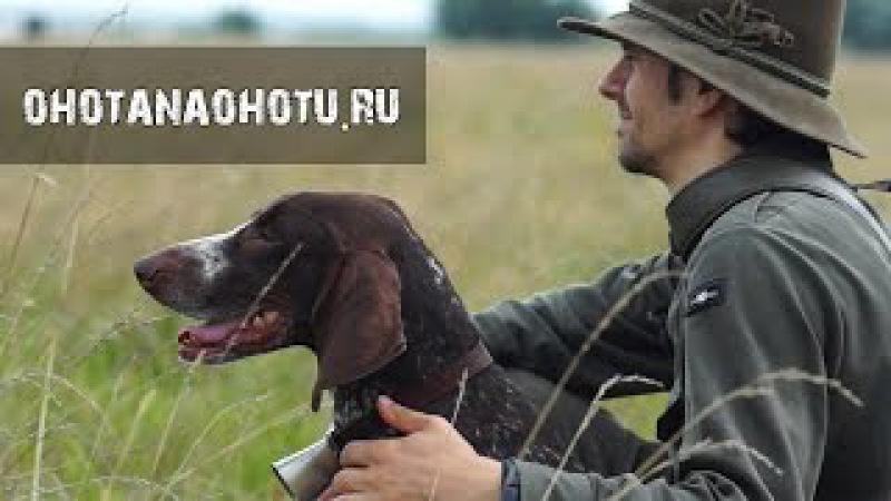 Охота с легавой. Очень красивый фильм. German Shorthaired Pointer in Russia. Охота на Охоту.
