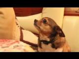 Выговор понимающей собачке