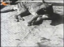 Сумчатый волк Thylacinus cynocephalus