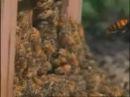 Vespa mandarinia japonica раздаёт пизды apis mellifera