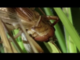 MONSTER BUG WARS  Bulldog Raspy Cricket Vs Whistling Tarantula (1)