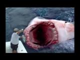 МЕГАЛАДОН СУЩЕСТВУЕТ! Самая большая в мире акула