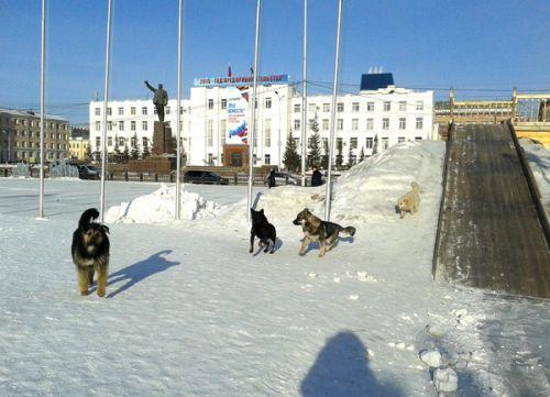 Бродячим собакам комфортно в центре Якутска