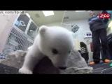 Полярный белый медвежонок Нора получи имя из интернета / Zoo's new polar bear cub named Nora